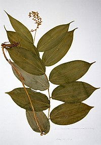 Maianthemum racemosum ssp. racemosum BW-1979-0522-0416.jpg