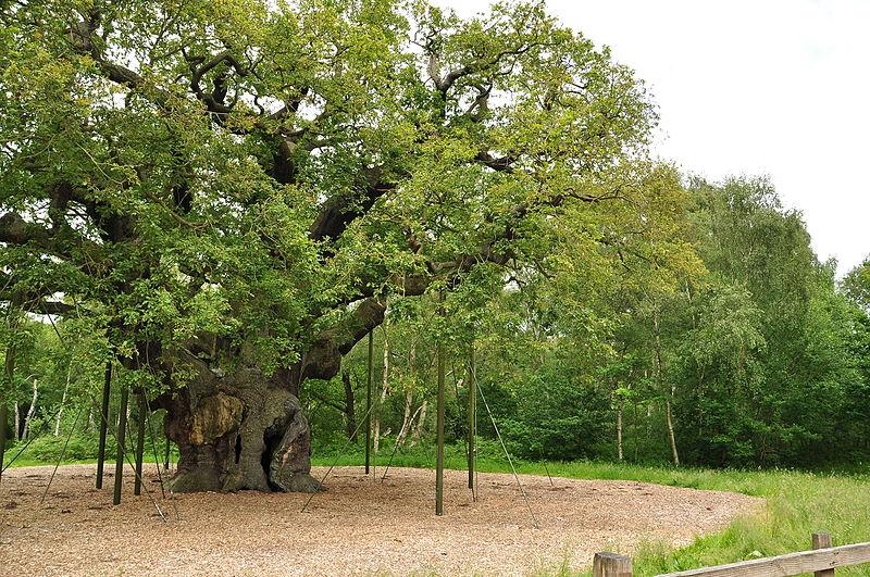 File:Major Oak (9501).jpg