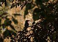 Malabar grey hornbill-4.jpg