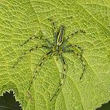 Malagasy green lynx spider (Peucetia madagascariensis) male.jpg