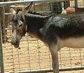 Male Donkey.jpg