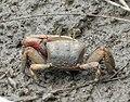 Male Fiddler Crab. Uca species. - Flickr - gailhampshire.jpg