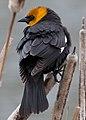 Male Yellow-headed Blackbird.jpg