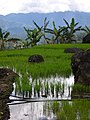 Maligcong rice terraces rice and bananas (3299264763).jpg