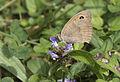 Maniola jurtina - Meadow Brown 1.jpg