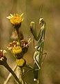 Mantis rezando - Praying mantis (3988597876).jpg