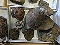 Marine fossils, Desert Museum 2.jpg