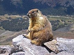 El juego de las palabras encadenadas-https://upload.wikimedia.org/wikipedia/commons/thumb/3/3b/Marmot-edit1.jpg/250px-Marmot-edit1.jpg