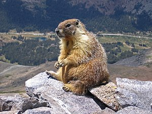 "Ground squirrel - Watchful ""rock chuck"" or yellow-bellied marmot (Marmota flaviventris) atop Mount Dana, Yosemite National Park in California"