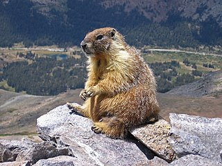 Marmot genus of mammals