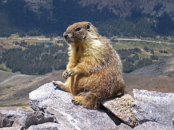 A marmot seen on top of Mount Dana, Yosemite, ...