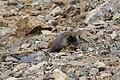 Marmota flaviventris (29270001054).jpg