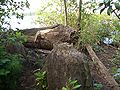 Marsh-Island-Tree-cut-by-beaver-3911.jpg