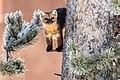 Marten in a tree (c6cf12a9-0b67-437c-bc12-a0f7d754f650).jpg