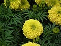Marygold from Lalbagh flower show Aug 2013 8422.JPG