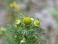 Matricaria discoidea flower (14).jpg