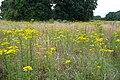 Meadow of ragwort - geograph.org.uk - 917120.jpg