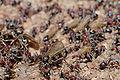 Meat eater ant nest swarming04.jpg