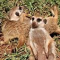Meerkats (36204828350).jpg
