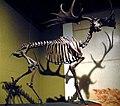 Megaloceros giganteus Irish elk skeleton (Pleistocene) (15443938885).jpg