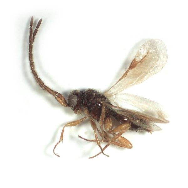 Megaspilidae