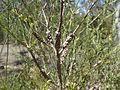 Melaleuca diosmatifolia.jpg