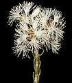 Melaleuca pauperiflora subsp. fastigata - Flickr - Kevin Thiele.jpg