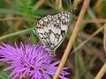 Melanargia galathea on Asterales flower (42026159595).jpg