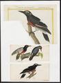 Melanerpes - 1700-1880 - Print - Iconographia Zoologica - Special Collections University of Amsterdam - UBA01 IZ18700409.tif