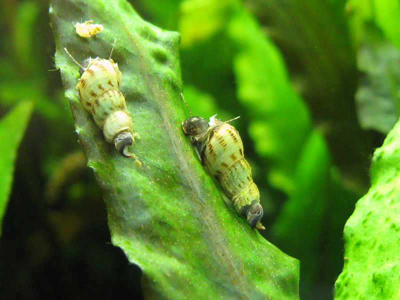 ... Snails Freshwater further Freshwater Aquarium Pest Snails additionally