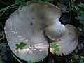 Melanoleuca brevipes 393546.jpg