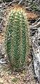Melocactus borhidii.jpg