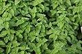 Mentha spicata L..jpg