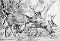 Merycodus osborni.jpg
