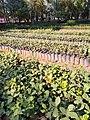 Mexico City- Viveros de Coyoacan- native oak tree seedlings.jpg