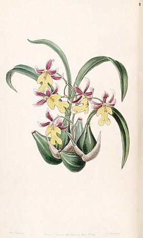 Mexicoa ghiesbreghtiana (as Odontoglossum warneri var. purpuratum) - Edwards vol 33 (NS 10) pl 20 (1847).jpg