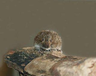 Tatra pine vole species of mammal