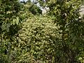 Mikania micrantha (11386134976).jpg