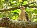 Milvago chimachima (Pigua - Garrapatero caucano) - Flickr - Alejandro Bayer (1).jpg