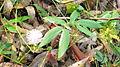 Mimosa sensitiva L. (6634145725).jpg