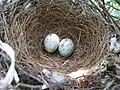 Mimus polyglottos eggs 01.JPG