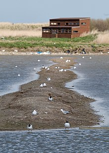 In the foreground many seabirds on a spit of mud; behind it a two-storey wooden building with many windows looking this way.