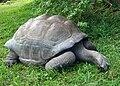 Mombasa Schildkröte2.jpg