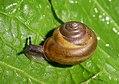 Monachoides vicina.jpg
