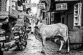 Monochrome bull in alley (Unsplash).jpg