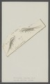 Monoculus chelifer - - Print - Iconographia Zoologica - Special Collections University of Amsterdam - UBAINV0274 100 01 0033.tif