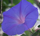 Morning Glory Flower (2767397703).jpg