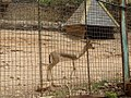 Moroccan dorcas gazelle, Gazella dorcas massaesyla.jpg