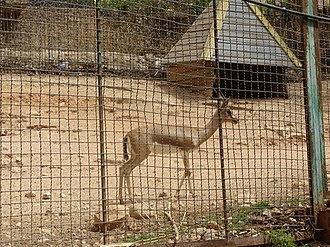 Dorcas gazelle - Image: Moroccan dorcas gazelle, Gazella dorcas massaesyla