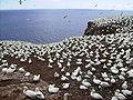 Morus bassanus Île Bonaventure.jpg